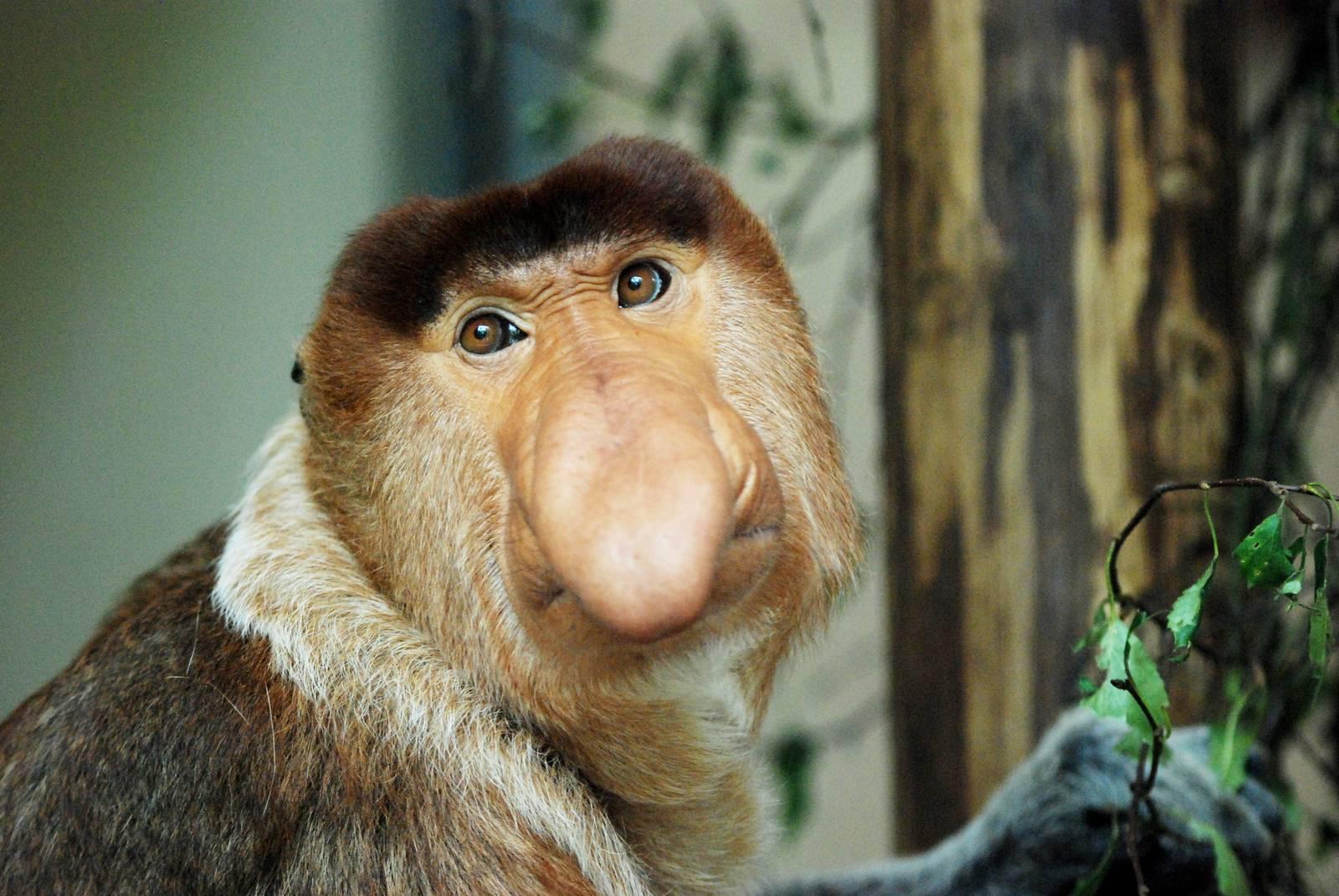 картинки обезьян с длинным носом бывают