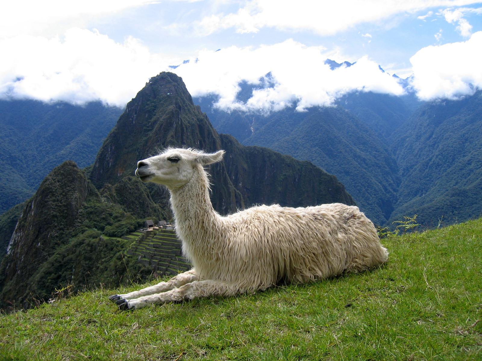 Llama Wallpaper Because Llamas Are Awesome