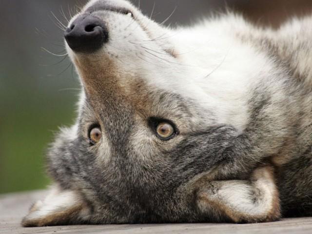Картинки, картинки волчицы с надписью