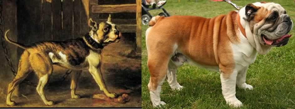 Old Type Bulldog Vs The New